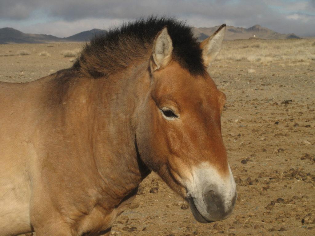cavallo di Przewalski, maschio adulto in semilibertà nell'area di Takhiintal incuriosito mi tiene a distanza dal branco