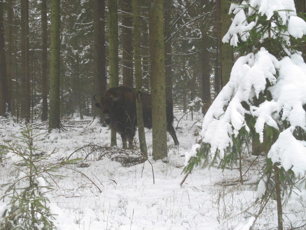 Bisonte: è strano incontrare un bisonte nella foresta, sebbene lo stessimo cercando da due giorni è un incontro speciale, vuole solo starsene in pace e per questo si rifugia nella foresta. Noi siamo andati a disturbarlo capitandogli davanti proprio mentre ruminava sereno seduto nella neve. Ci ha guardati severo per un istante e se n'è andato. Il mattino dopo siamo tornati lì sperando che tornasse. Nevicava fitto, forse per quello o forse perchè sentiva il nostro odore non è arrivato. Sarà suggestione o chissà che cosa è, ma mentre eravamo fermi da due ore lì sotto la neve che cadeva non abbiamo avuto freddo neanche per un momento.