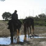 prima di Sète lasciamo gli stagni per raggiungere la via domitia attraverso la montagna della Gardiole, lassù dopo tre giorni i cavalli incontrano la prima acqua dolce.