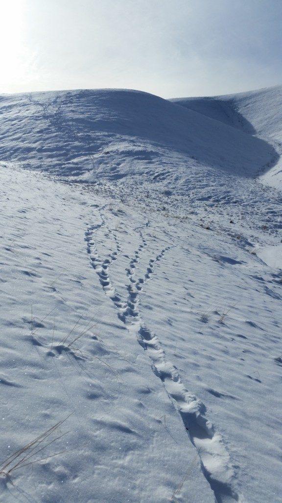 Archivio Servizio Foreste e Fauna PAT - MUSE - Life WolfAlps).  Da lontano le tracce dei lupi sulla neve somigliano a quelle degli escursionisti. Loro camminano a testa alta, guardando dritto davanti a sè, come gli uomini. Forse è per questo che mettono in discussione.