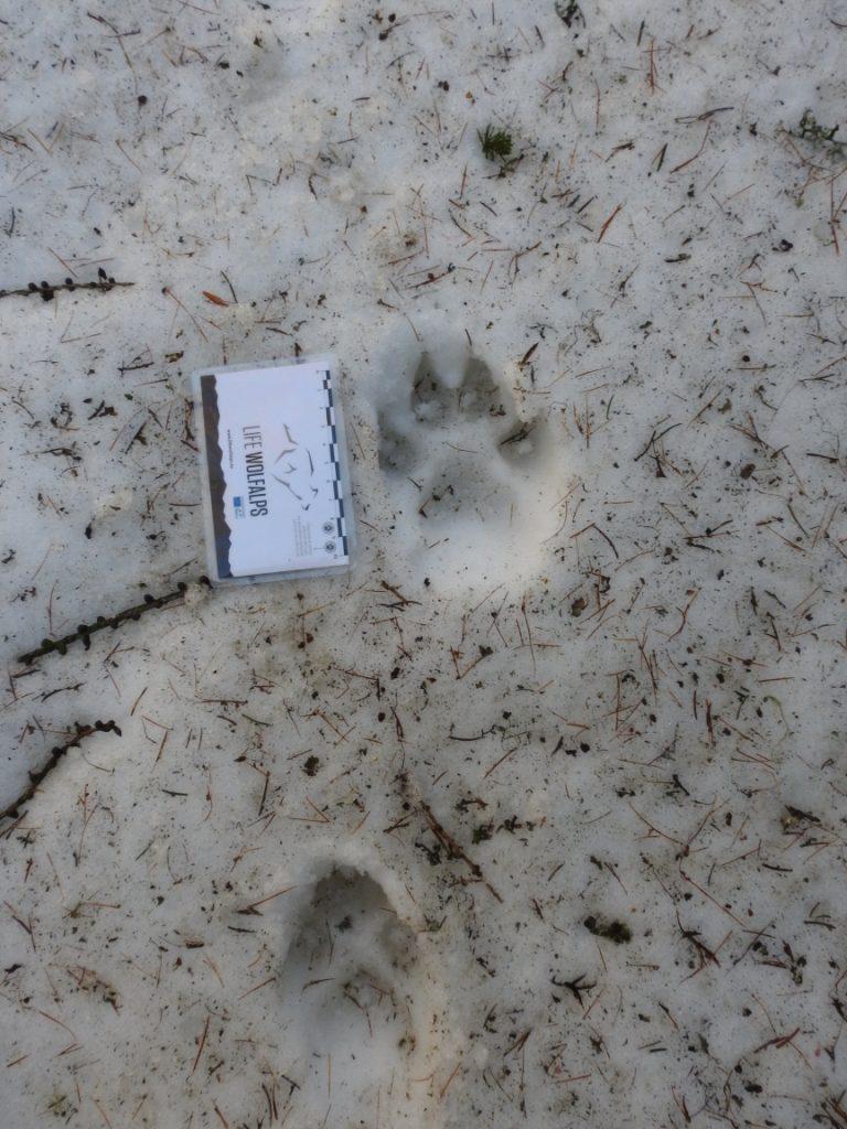 Archivio Servizio Foreste e Fauna PAT - MUSE - Life WolfAlps).