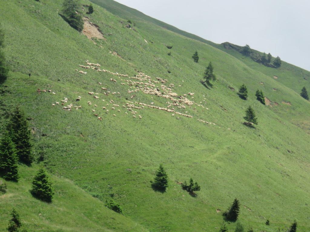 I pascoli alti dell' alpeggio Manina dove per tutta l'estate pascolano le pecore di Andrea Morelli.