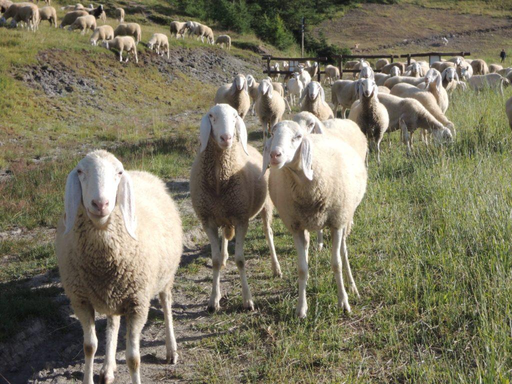 Quello che sa delle pecore un pastore figlio di pastori non è quello che gli è stato detto, è quello che ha imparato.
